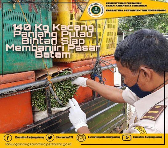 140 Kg Kacang Panjang Pulau Bintan Siap Membanjiri Pasar Batam